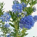 花木 庭木の苗/セアノサス:パシフィックブルー4〜4.5号ポット