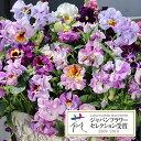草花の苗/パンジー:ムーランフリルライトビオレッタミックス3.5号ポット3株セット