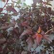 花木 庭木の苗/テマリシモツケ:ディアボロ7号ルートバック樹高1〜1.2m