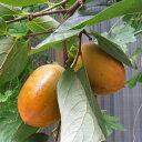 果樹の苗/柿(カキ):市田柿(イチダガキ)4号ポット