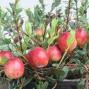 果樹の苗/クランベリー(ツルコケモモ)4号ポット