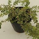 花木 庭木の苗/ロニセラ:ニティダ エドミーゴールド5号ポット12株セット