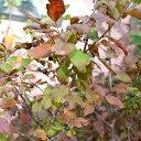 花木 庭木の苗/ナツハゼ3.5号ポット