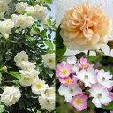 バラの苗/初心者向き小型つるバラ:3品種セット
