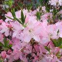 花木 庭木の苗/ツツジ:クロフネツツジ樹高50〜60cm根巻きまたはポット入