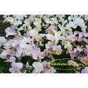草花の苗/ビオラ:小桜3号ポット 6株セット