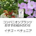 植物の苗/コンパニオンプランツ栽培セット:四季なりいちご夏姫とランドスケープペチュニアさくらさくら