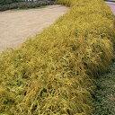 花木 庭木の苗/コニファー(低性):フィリフェラオーレア5号ポット