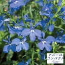 草花の苗/ロベリア:アズーロコンパクトウルトラマリン3.5号ポット