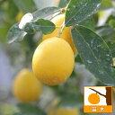 【ラッキーシール対応】果樹の苗/キンカンライム5号ポット