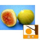 果樹の苗/鉢植え果樹 イチジク:ザ・キング8号鉢植え