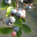 果樹の苗/ブルーベリー:ウッダード5号ポット