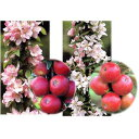 果樹の苗/バレリーナツリー2種2本セット(ワルツとポルカ)