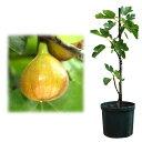 果樹の苗/鉢植え果樹 イチジク:カドタ8号鉢植え