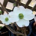 花木 庭木の苗/ハナミズキ:クラウドナイン(白花種)6号ポット
