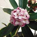 花木 庭木の苗/沈丁花(ジンチョウゲ):赤花(斑入り)4.5号ポット