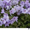 草花の苗/フロックス:ストロニフェラ(ツルハナシノブ)ブルー(青花)3〜3.5号ポット2株セット