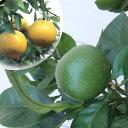 果樹の苗/グレープフルーツ(白)8号鉢植え[実付き]