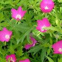 【ラッキーシール対応】草花の苗/カリフォー:ポピーマロー3〜3.5号ポット2株セット