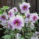 大株仕立て ビカラー 2色咲の夏の花草花の苗/ラバテラ:バイカラー5号ポット