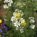 植物の苗/コンパニオンプランツ:チャービル3号ポット4株セット