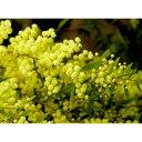 花木 庭木の苗/アカシア:ブリスベーンアカシア3〜3.5号ポット