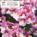 草花の苗/ネメシア:メロウミルキーピンク3.5号ポット2株セット