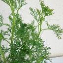 植物の苗/コンパニオンプランツ:サザンウッド3号ポット4株セット