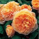 バラの苗/イングリッシュローズ:クラウン・プリンセス・マルガリータ大苗5号角鉢植え