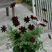 草花の苗/チョコレートコスモス:ショコラ3号ロングポット