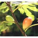 果樹の苗/イチジク:ホワイトゼノア 4〜5号ポット