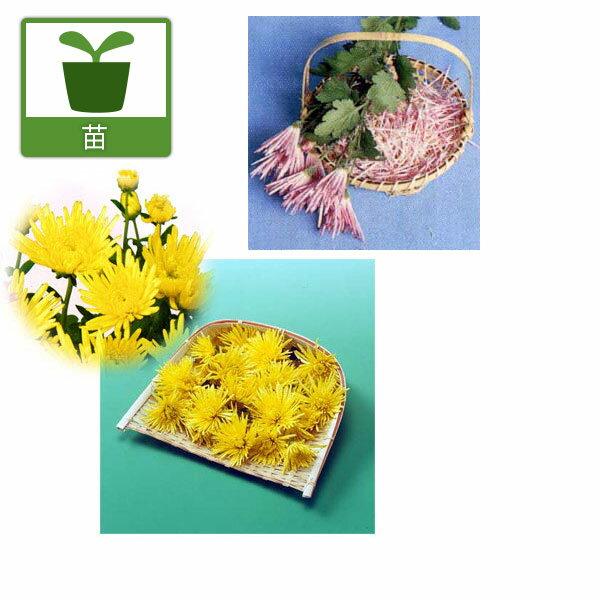 野菜の苗/食用菊:桃花と黄花2.5号ポット2種4株セット(もってのほか・松風)