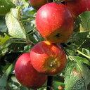 果樹の苗/リンゴ:アルプス乙女4〜5号ポット