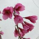花木 庭木の苗/[タイワンザクラ・美しい緋紅色・2月中?下旬咲・関東以南向き]桜:寒緋桜(カンヒザク
