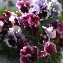 草花の苗/パンジー:ムーランフリルトリコロールルージュローズミックス3.5号ポット3株セット