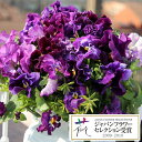 草花の苗/パンジー:ムーランフリルビオレッタミックス3.5号ポット3株セット [02P03Dec16]