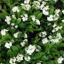 草花の苗/ワスレナグサ:ホワイト3号ポット