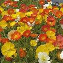 草花の苗/ポピー:アイスランドポピー花色ミックス3号ポット12株セット