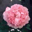 花木 庭木の苗/中国牡丹(ぼたん):緑胡蝶(りょくこちょう)3年生苗6号ポット