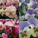 草花の苗/おためし3種9株セット:パンジー人気品種(さくらさくら・ももこ・ブルーオーシャン)