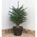 花木 庭木の苗/もみの木(モミノキ):ウラジロモミ樹高80cm〜1m鉢植えセット