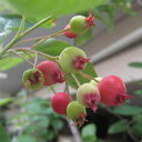 【ラッキーシール対応】花木 庭木の苗/ジューンベリー(アメリカザイフリボク):実生苗4号ポット