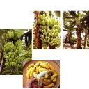 果樹の苗/バナナ2種セット(三尺バナナ、沖縄島バナナ)3.5号ポット