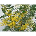 花木 庭木の苗/アカシア:ギンヨウ(銀葉)アカシア4号ポット