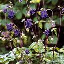 草花の苗/オダマキ(斑入葉):レクチャムゴールド3〜3.5号ポット 2株セット