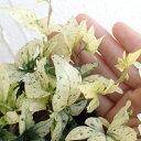草花の苗/ヘデラ(アイビー):雪まつり3号ポット