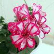 草花の苗/アイビーゼラニウム:ルーレット(赤白複色咲)4号ポット