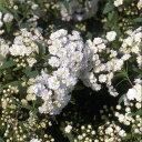 花木庭木の苗/コデマリ:八重咲きこでまり4.5号ポット