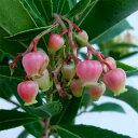 花木 庭木の苗/イチゴノキ(アルブタス):紅花5号ポット