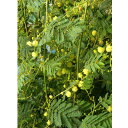 花木 庭木の苗/アカシア:デアネイ(四季咲きミモザ)3号ポット